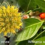 Adaptogene Pflanzen gegen Stress
