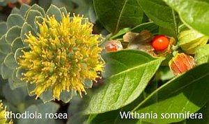 Rhodiola rosea und Withania somnifera