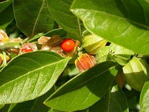 Echinacea und Withania somnifera stärken das Immunsystem