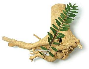 Tongkat Ali Eurycoma longifolia Jack gegen Osteoporose
