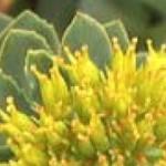 Rhodiola rosea (roseroot): Dosage, Effect, Side Effects