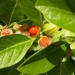 Withania somnifera (Ashwagandha): Dosage, Effect, Side Effects