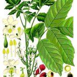 Guarana (Paullinia cupana) Informationen