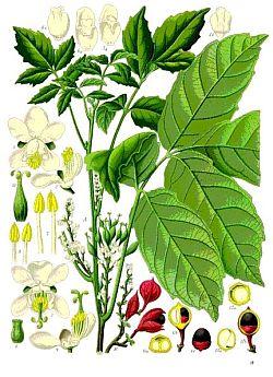 Guarana (Paullinia cupana), aus: Franz Eugen Köhler 1897, Köhlers Medizinal-Pflanzen