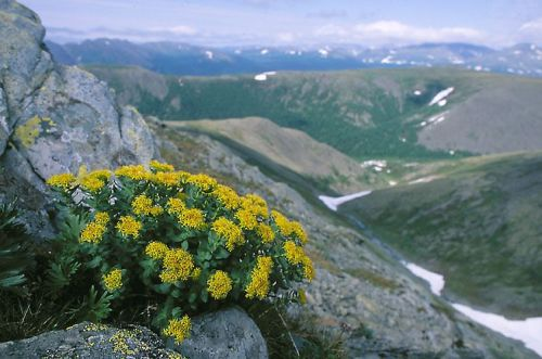 Rosenwurz (Rhodiola rosea) in extremer Lage