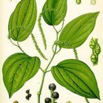 Piperin (Piper nigrum) Informationen