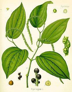 Schwarzer Pfeffer (Piper nigrum), aus: Franz Eugen Köhler 1897, Köhlers Medizinal-Pflanzen