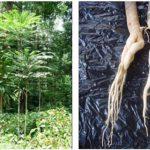 Tongkat Ali (Eurycoma longifolia) Informationen