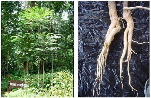 Tongkat Ali, Baum und erntereife Wurzel