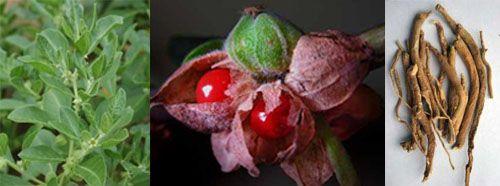 Withania somnifera (Ashwagandha): Pflanze, Beeren und Wurzeln